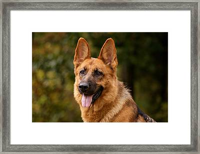 Red German Shepherd Dog Framed Print