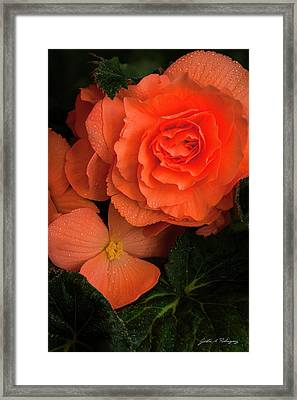 Red Giant Begonia Ruffle Form Framed Print