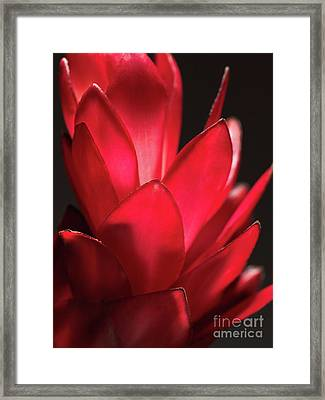 Red Ginger Alpinia Purpurata Flower Framed Print by Oleksiy Maksymenko