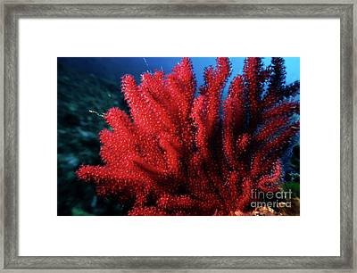 Red Gorgonian Sea Fan With Abundance Of Tentacles Framed Print