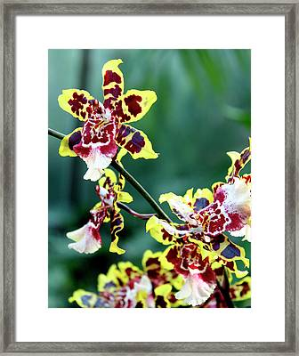 Striped Maroon And Yellow Orchid Framed Print