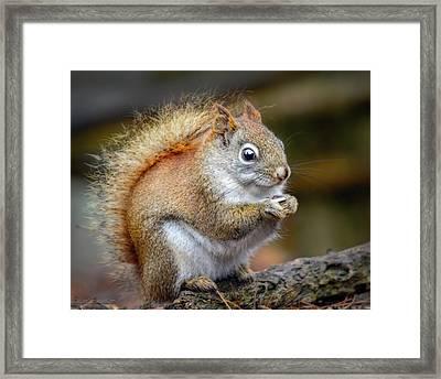 Red Ground Squirrel Framed Print