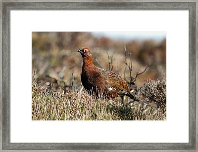Red Grouse Framed Print