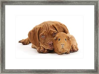 Red Guinea Pig And Dogue De Bordeaux Framed Print