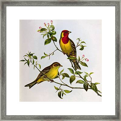 Red Headed Bunting Framed Print by John Gould