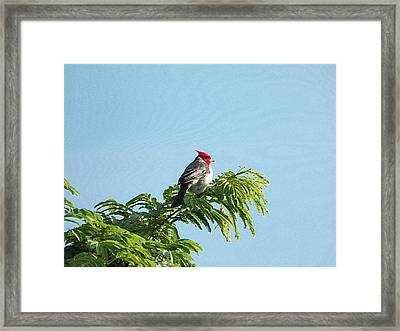 Red-headed Cardinal On A Branch Framed Print