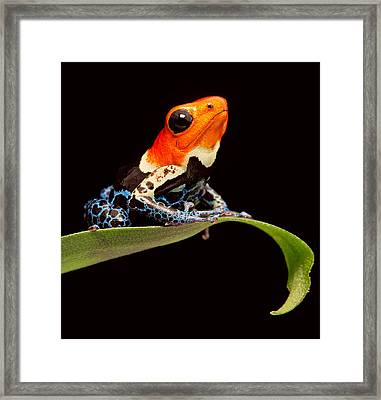 Red Headed Poison Dar Frog Framed Print by Dirk Ercken