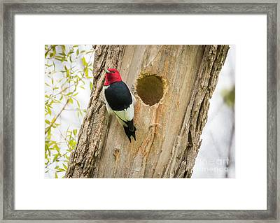 Framed Print featuring the photograph Red-headed Woodpecker At Home by Ricky L Jones