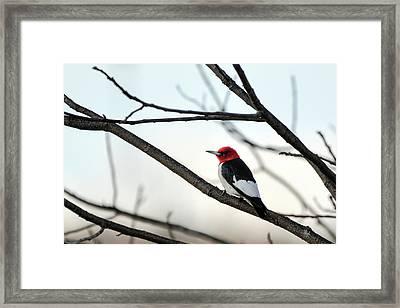 Red-headed Woodpecker Framed Print