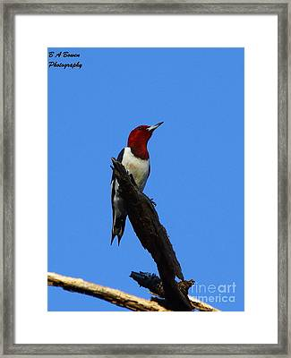 Red Headed Woodpecker On A Snag Framed Print