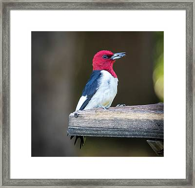 Framed Print featuring the photograph Red-headed Woodpecker With Seed  by Ricky L Jones