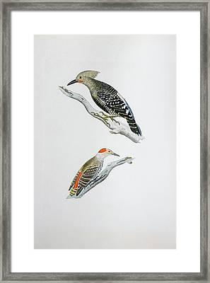 Red Headed Woodpeckers 3 Framed Print
