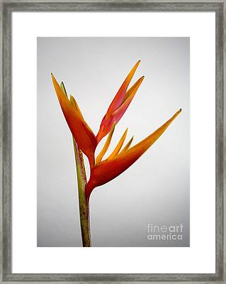 Red Heliconia Framed Print by Tomas del Amo - Printscapes