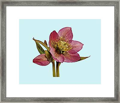 Framed Print featuring the photograph Red Hellebore Blue Background by Paul Gulliver