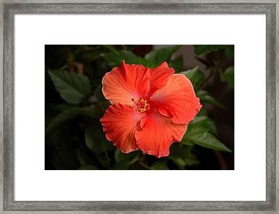 Red Hibiscus 2 Framed Print
