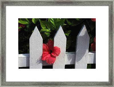Red Hibiscus And White Fence Framed Print