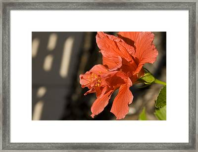 Red Hibiscus Framed Print by Carl Purcell
