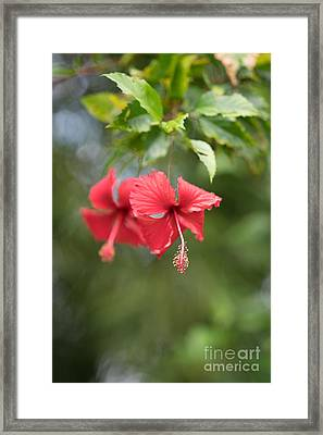 Red Hibiscus Details Framed Print by Mike Reid
