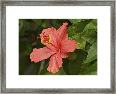 Red Hibiscus Framed Print by Michael Peychich
