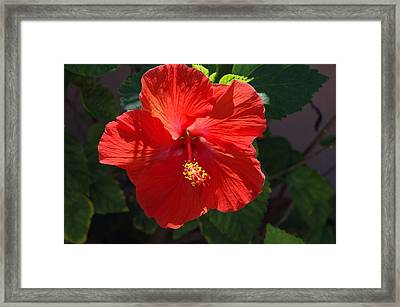 Red Hibiscus Framed Print by Susanne Van Hulst