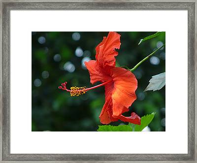 Red Hibiscus Framed Print by Valerie Ornstein