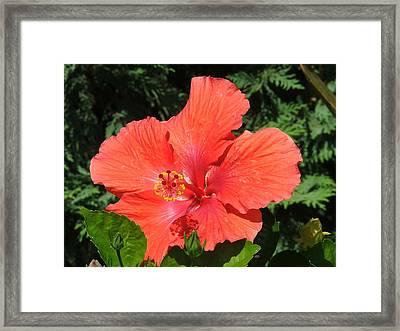 Red Hibiscus Framed Print by Wayne Skeen