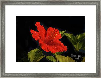 Red Hibiscus With Water Drops Framed Print
