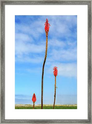Framed Print featuring the photograph Red Hot Pokers by James Eddy