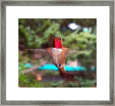 Framed Print featuring the photograph Red Hummingbird by Joseph Frank Baraba