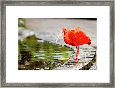 Framed Print featuring the photograph Red Ibis by Alexey Stiop