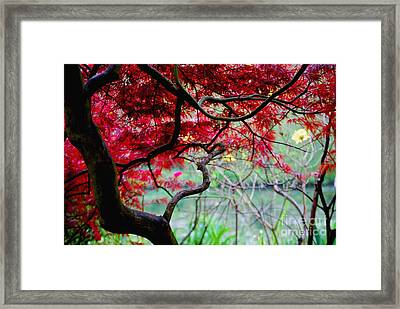 Framed Print featuring the photograph Red Japanese Maple by Nancy Bradley