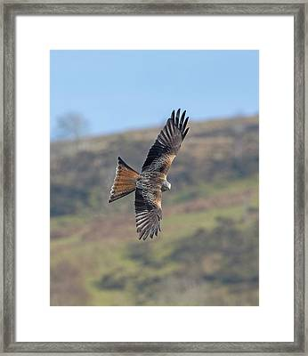 Red Kite Framed Print