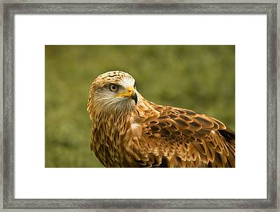Framed Print featuring the photograph Red Kite by Scott Carruthers