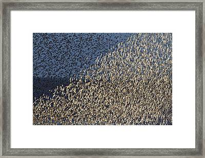 Red Knot At High Tide Framed Print
