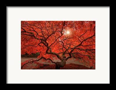 Maple Tree Framed Prints
