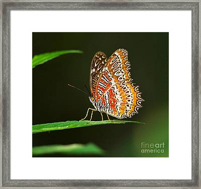 Red Lacewing Butterfly Framed Print by Louise Heusinkveld