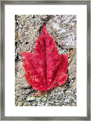 Red Leaf, Lichen 8797 Framed Print