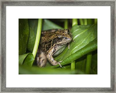 Red-legged Frog  On Plant Framed Print