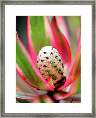 Red Leucadendron Jester Bract Flower . 7d5319 Framed Print by Wingsdomain Art and Photography