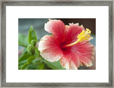 Red Lillie Flower Close Up 2 Framed Print by M Valeriano