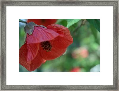 Red Lillie Flower Close Up Framed Print
