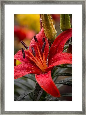 Red Lillium Asiatic Framed Print by Dale Kincaid