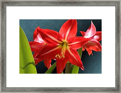 Red Lily Flower Trio Framed Print
