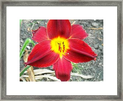 Red Lily Framed Print by Ward Smith