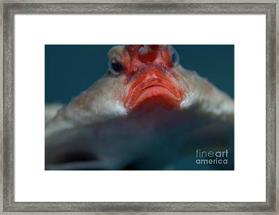 Red-lipped Batfish Framed Print by Sami Sarkis