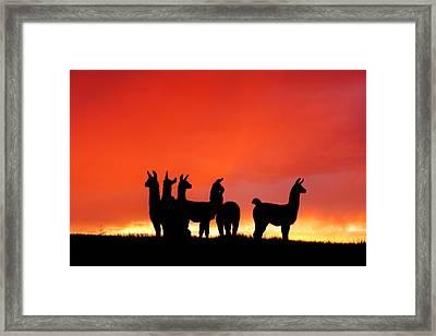 Red Llama Sunset 1 Framed Print