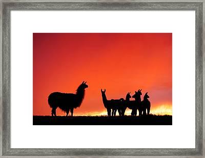 Red Llama Sunset 2 Framed Print