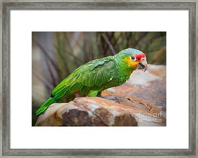 Red Lored Amazon Parrot Framed Print