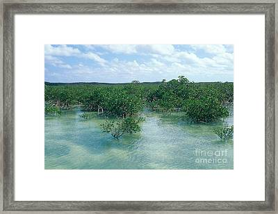 Red Mangrove Forest Framed Print by John Kaprielian
