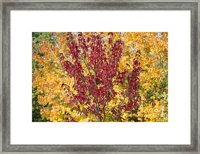 Red Maple Autumn  Framed Print by Tim Gainey